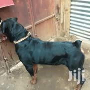 Adult Male Purebred Rottweiler   Dogs & Puppies for sale in Kisumu, Central Kisumu