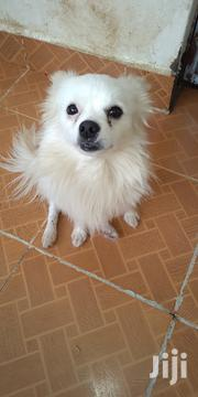 Adult Male Purebred Japanese Spitz | Dogs & Puppies for sale in Nairobi, Zimmerman