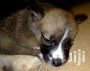 Baby Male Mixed Breed Japanese Spitz | Dogs & Puppies for sale in Nairobi, Ruai