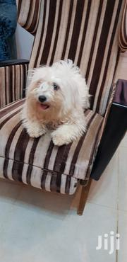 Young Female Purebred Havanese | Dogs & Puppies for sale in Nairobi, Nairobi West