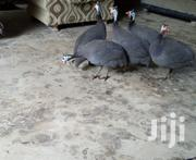 Guinea Fawls | Birds for sale in Mombasa, Bamburi