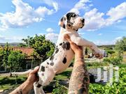 Young Male Purebred Great Dane | Dogs & Puppies for sale in Nairobi, Nairobi Central