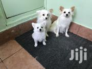 Young Female Purebred Japanese Spitz | Dogs & Puppies for sale in Nairobi, Nairobi West