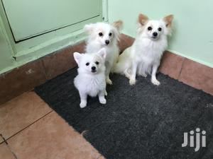 Young Female Purebred Japanese Spitz