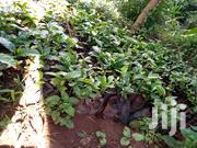 Grafted Coffee And Macadamia Trees | Feeds, Supplements & Seeds for sale in Embu, Nginda