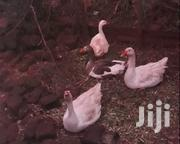 Geese (Bata Msinga) | Livestock & Poultry for sale in Kisii, Kisii Central