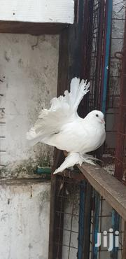 Fantails (Females) | Birds for sale in Mombasa, Tudor