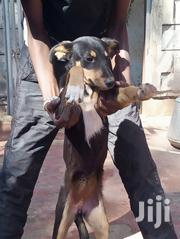Young Female Mixed Breed Rottweiler   Dogs & Puppies for sale in Kiambu, Ruiru