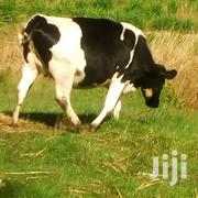 Healthy Dairy Cows | Livestock & Poultry for sale in Nyandarua, Engineer