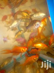 Musila's Aquarium And Fish Supplery | Fish for sale in Nairobi, Nairobi Central