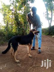 Adult Male Purebred Rottweiler | Dogs & Puppies for sale in Migori, Central Sakwa (Awendo)