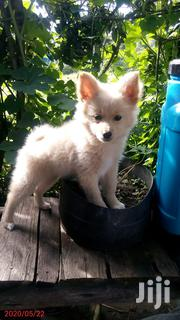 Baby Female Purebred Chihuahua | Dogs & Puppies for sale in Nakuru, Nakuru East
