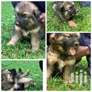 Baby Male Mixed Breed Alaskan Malamute | Dogs & Puppies for sale in Nairobi, Parklands/Highridge