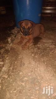 Baby Male Mixed Breed Rottweiler | Dogs & Puppies for sale in Kilifi, Malindi Town