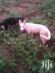 Young Male Purebred German Shepherd | Dogs & Puppies for sale in Mombasa, Bamburi