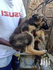 Young Male Purebred German Shepherd | Dogs & Puppies for sale in Nairobi, Kahawa