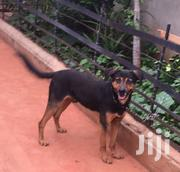 Adult Male Mixed Breed Rottweiler | Dogs & Puppies for sale in Kiambu, Ruiru