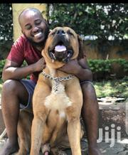 Young Female Purebred Boerboel | Dogs & Puppies for sale in Nairobi, Westlands