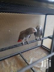 African Grey Parrot | Birds for sale in Nairobi, South C