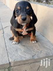 Young Female Purebred Dachshund | Dogs & Puppies for sale in Nakuru, Bahati