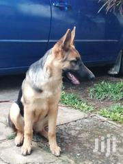 Young Female Purebred German Shepherd | Dogs & Puppies for sale in Nairobi, Embakasi