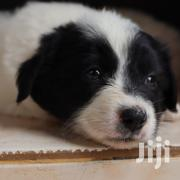 Baby Male Mixed Breed Japanese Spitz | Dogs & Puppies for sale in Nairobi, Embakasi
