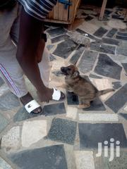 Young Male Purebred German Shepherd | Dogs & Puppies for sale in Migori, Central Sakwa (Awendo)