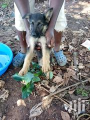 Baby Male Mixed Breed German Shepherd | Dogs & Puppies for sale in Migori, Central Sakwa (Awendo)