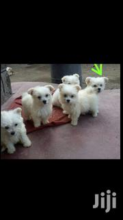 Baby Male Mixed Breed Maltese | Dogs & Puppies for sale in Nakuru, London
