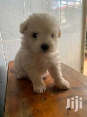 Baby Female Mixed Breed Maltese | Dogs & Puppies for sale in Nairobi, Roysambu